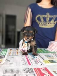 Yorkshire Terrier machos e fêmeas com garantia de saúde! *