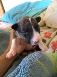 Filhotes de Bull terrier fêmea