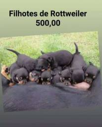 Filhotes rottweiler puros barato 500$