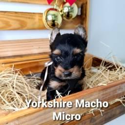 Lindos bebês de Yorkshire