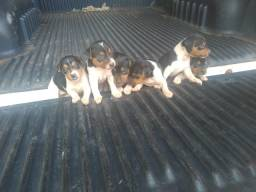 Vendo Cachorrinhos Fox Paulistinha