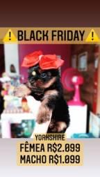 Super promoção!! Yorkshire fêmea lindíssima R$2.099