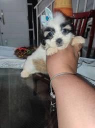 Lhasa Apso fêmea mini linda a pronta entrega