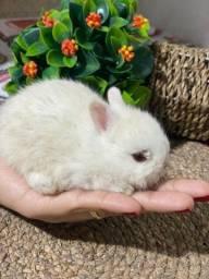 Título do anúncio: Vende-se filhote de mini coelho netherland