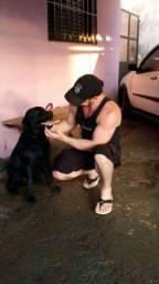 Labrador Retriever procura namorada