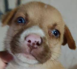 Vendo Filhote de Husky com Pit Bull
