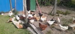 Vendo lote de galinha