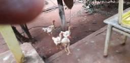 Frangos e galinhas ndio gigante