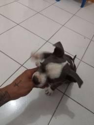 Cachorro american staffordshire tirrier  2 mês de nascimento