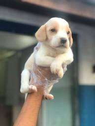 Beagle mini, machos e fêmeas a pronta entrega