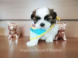 Shihtzu Machinho em até 10 x 99 sem juros no Cartão! Império Royal
