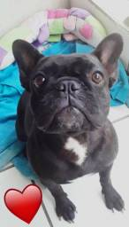 Bulldog francês femea 10 x sem juros
