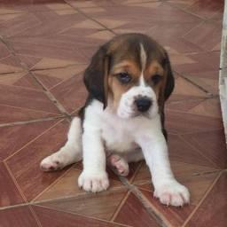Beagle PURO disponível para reserva