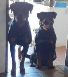 Filhote de Rottweile