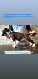 Bull Terrier macho e fêmea