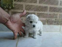Poodle toy branco MACHO ( não respondo no chat)