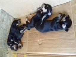 Filhotes de pinscher com poodle