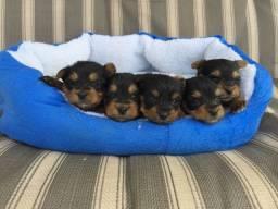 Yorkshire Terrier tamanhos micro e padrão, todos pedigree e suporte veterinario