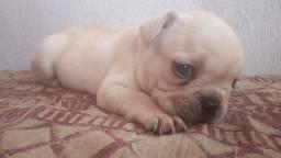 Vendo filhote de Bulldog francês macho