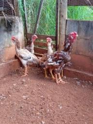 Título do anúncio: Calcuta Cara de Coruja Galinha Galo Frango Franga Pintinhos Ovos Quartel das Aves