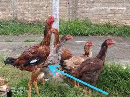 Vendo frangos frangas  Galinhas índio gigante