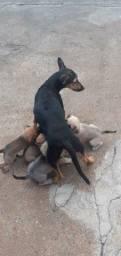 Doação de filhotes de cadela