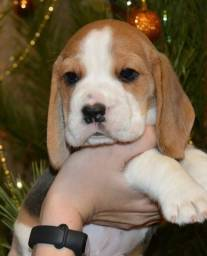 Machinho lindo! Beagle Filhote 13 Polegadas com Pedigree e Microchip