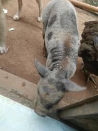 Porco pequeno
