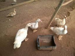 Veendo Patos