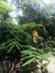 Fruta aveludinha, 40.00 reais a muda
