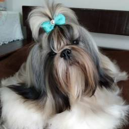 Cães de raça shih Tzu
