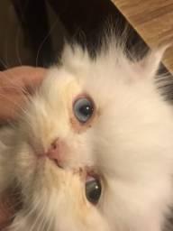 Gato persa branco macho