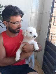 Procuro uma namorada poodle