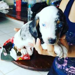 Vende-se lindos filhotes Basset arlequim com olhos azuis