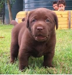 Labrador com pedigree e garantia