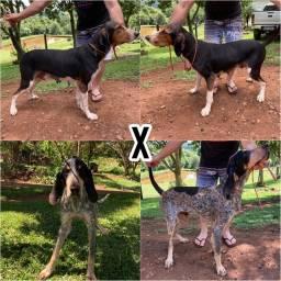 Foxhound x Grand Bleu de Gascogne