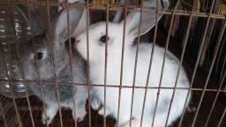 Título do anúncio: Filhotes de coelho gigante