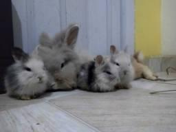 Título do anúncio: Filhotes de coelho - Mini Lion