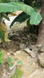 Doa-se madeira de mangueira
