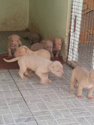 Crias de Pitbull American Terrier