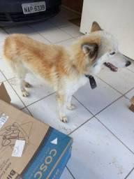 Título do anúncio: Vendo husky siberiano