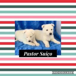 Pastor Suiço com pedigree e microchip em até 18x