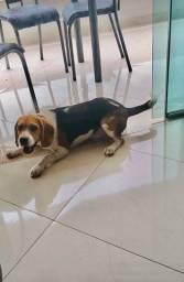 Vendo fêmea beagle americano parcelo no cartão