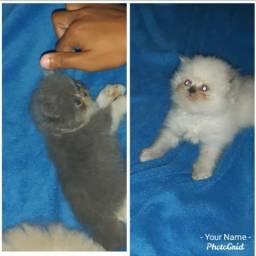 Vendo lindos filhotes de gatinhos raça persa cháma no whats *