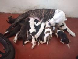 11 filhotes de PITBULL disponível