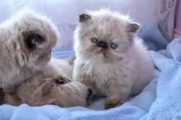 Vende-se filhote de persa top show