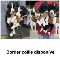 Border collie com pedigree e micro chip em até 18x