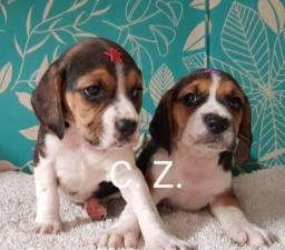Beagle disponível para entrega. Filhotes com pedigree