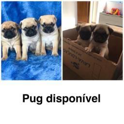 Pug com pedigree e micro chip em até 18x