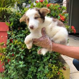Border Collie - pedigree e garantias em contrato!